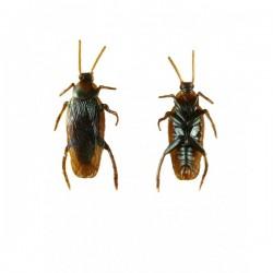 Cucaracha asesina - Imagen 1